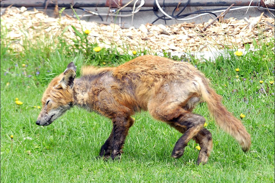 Wild fox infected with sarcoptic mange.
