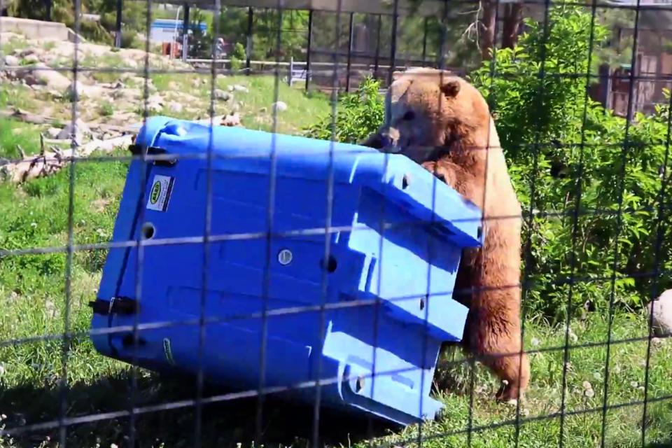 A bear testing the strength of a bear-proof bin. (via Eric Thompson)