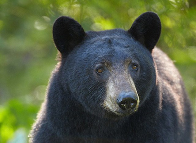 black-bear_p3394275