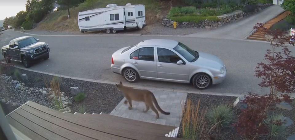 cat cougar