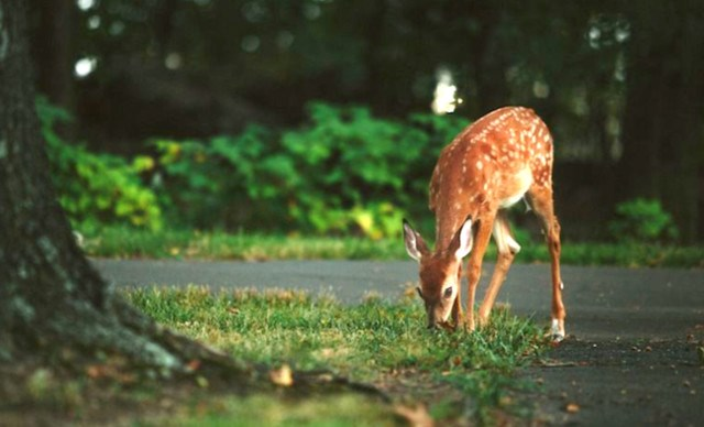 deer-oh