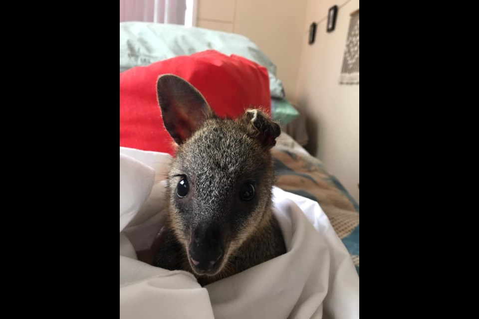 A joey named Ashy, who lost part of an ear in one of the bushfires.  (via Megan Cowan/Facebook)