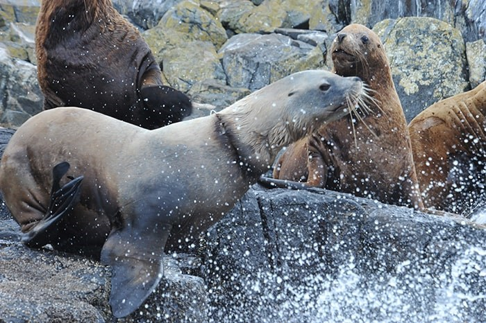 The male stellar sea lion had a plastic packing band stuck around its neck. (via Sea Doc Society)