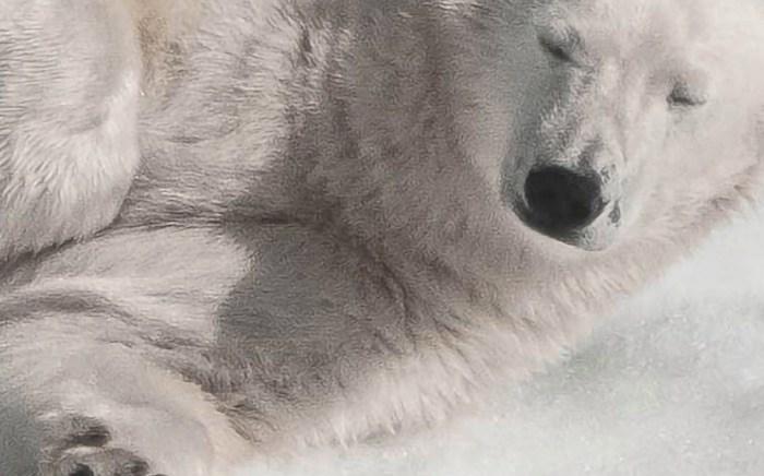 kpuresnow-polarbear