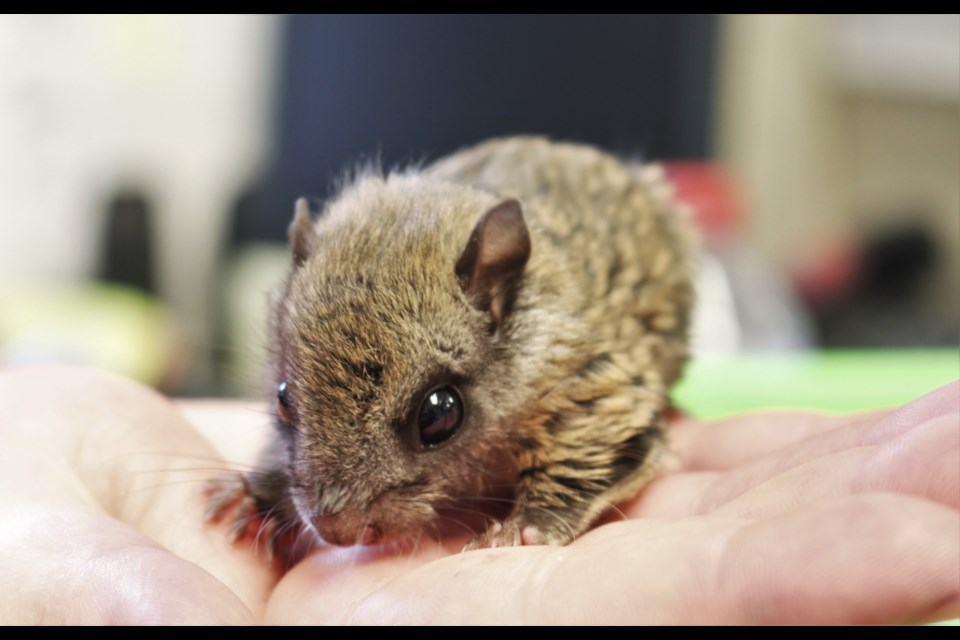A northern flying squirrel that's recovering at the centre may be a forever resident, as an educational animal. (via Brendan Kergin)