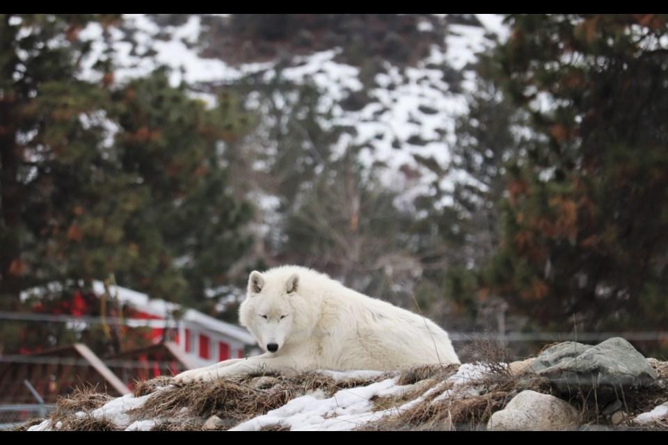 The park has three arctic wolves, all siblings (AJ, Marraq and Sijja). (via Brendan Kergin)