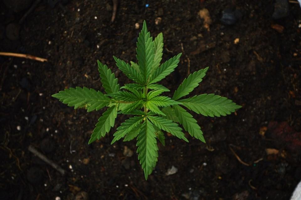 marijuanaplant