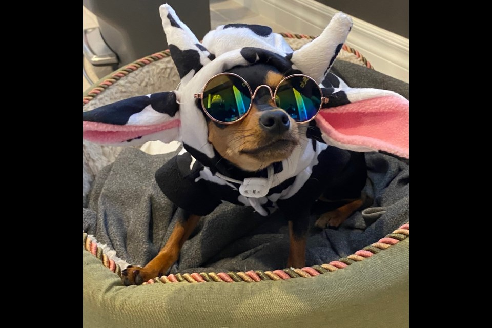 Zoey moo cow cool girl (Photo from Humane Society website)