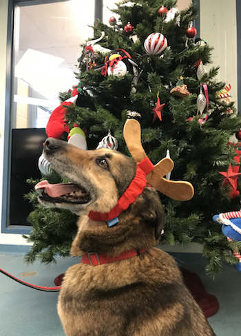 Adopt Me Dax Is Looking For A Home In Time For Christmas Adopted Kitchenertoday Com