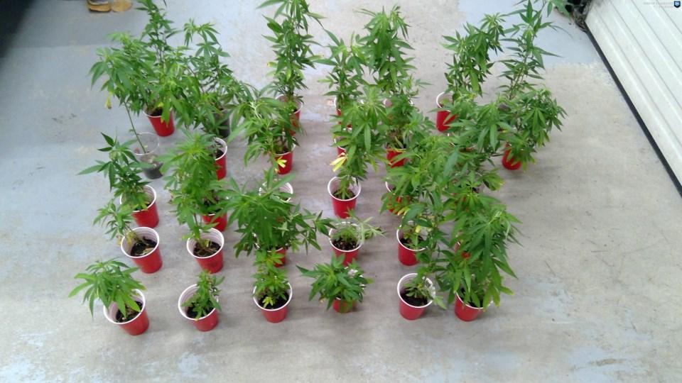 cannabis plants July 21 2020