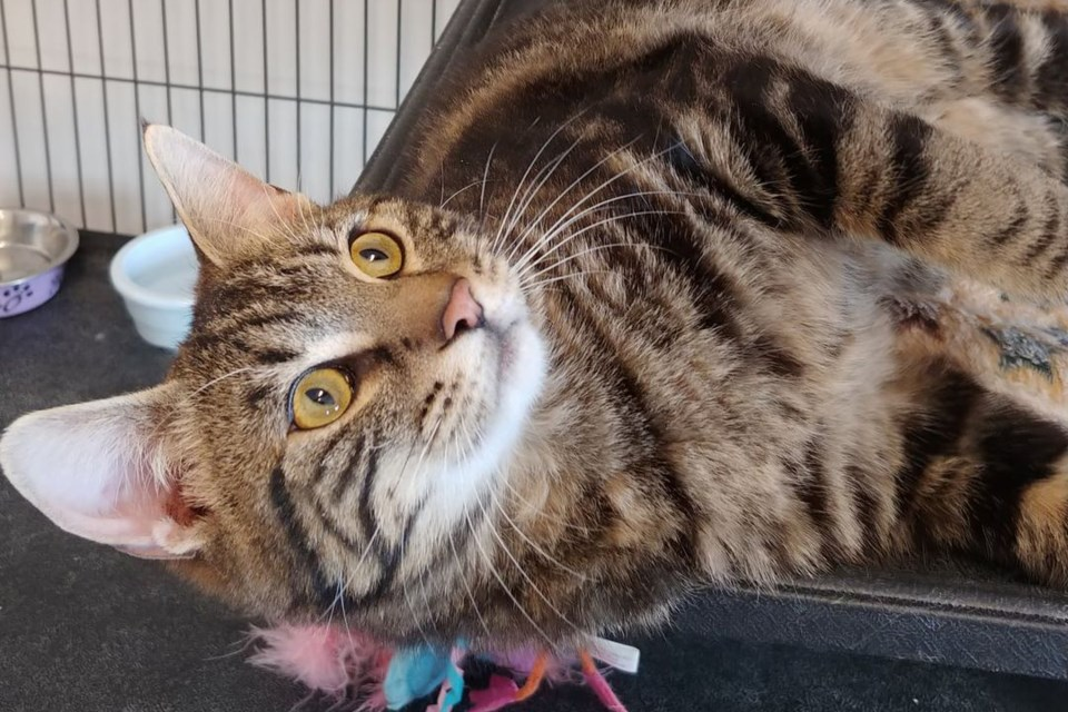 Cordoroy is among the cats and kittens at the St. Paul Animal Shelter. Photo supplied.