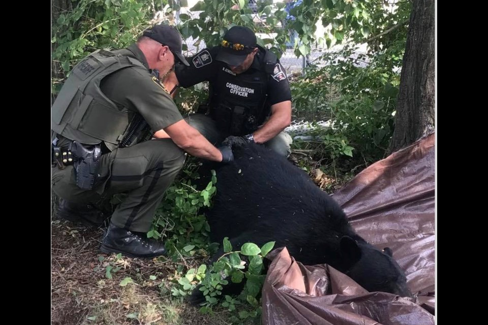 Conservation Officer Brad Semeniuk and Fish and Wildlife officer Conrad Ozero examine the animal and remove the tranquilizer dart from the bear after it fell into the net.