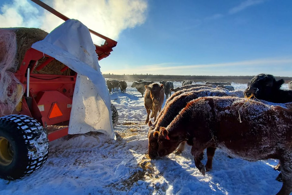 Although calving season at the Harty ranch only begins in mid-April, there is still plenty to do, regardless of the weather. / Photo courtesy Jennifer Harty