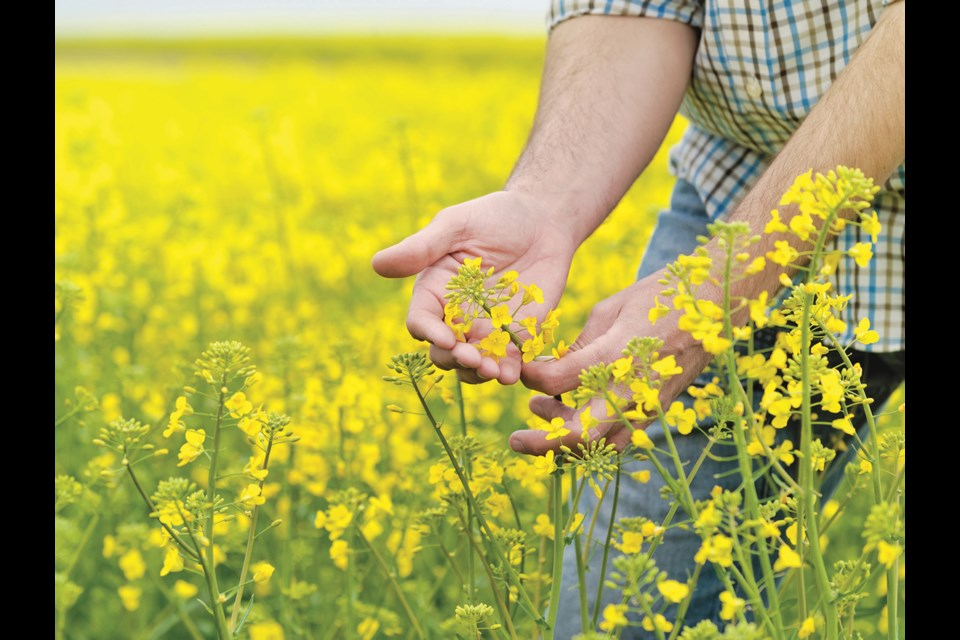 Canola prices soar as supply decreases.