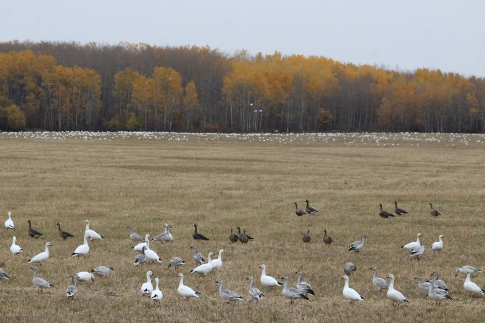 More snow geese come in for a migration stop-over in the background of this image taken near Sandero Ranch on Highway 663. This year's snow goose visit is larger than other years, say local birding officianados.