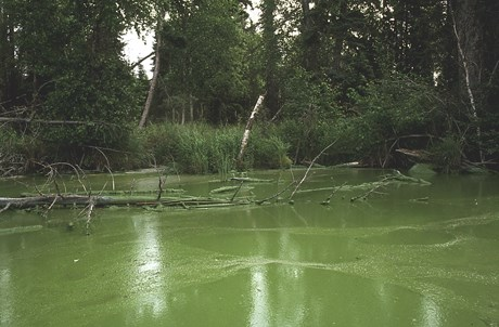 Steele-Lake-Aphanizomenon-Bloom-Aug-1995