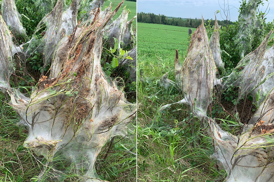 Images provided by the County of Two Hills show insect nests along a fence line.