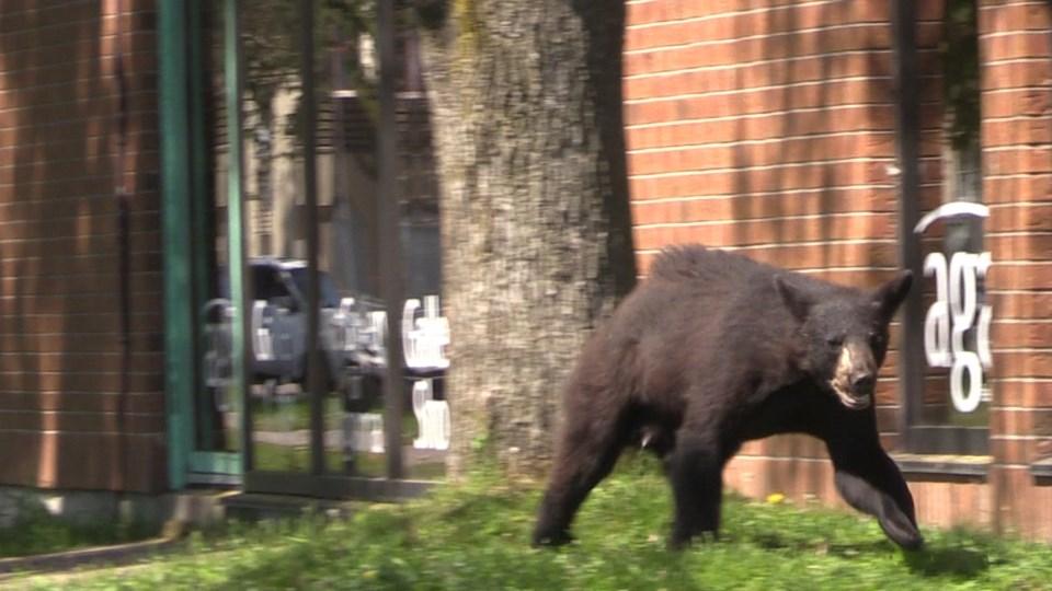 June 11 bear downtown