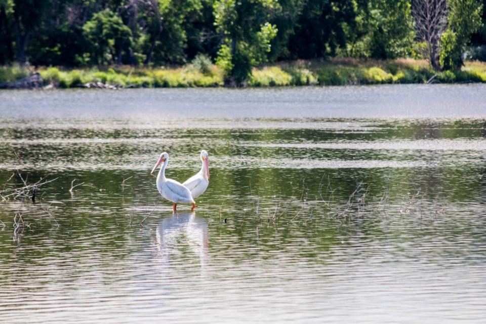 Pelican Squared