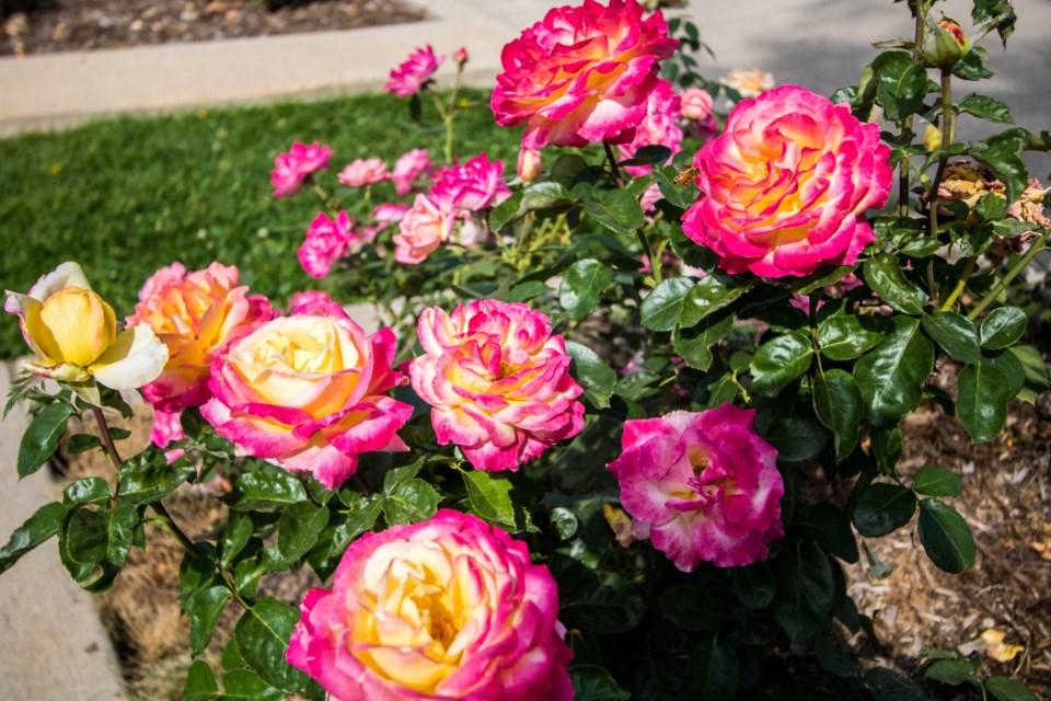 Roosevelt Park Rose Garden (4 of 5)