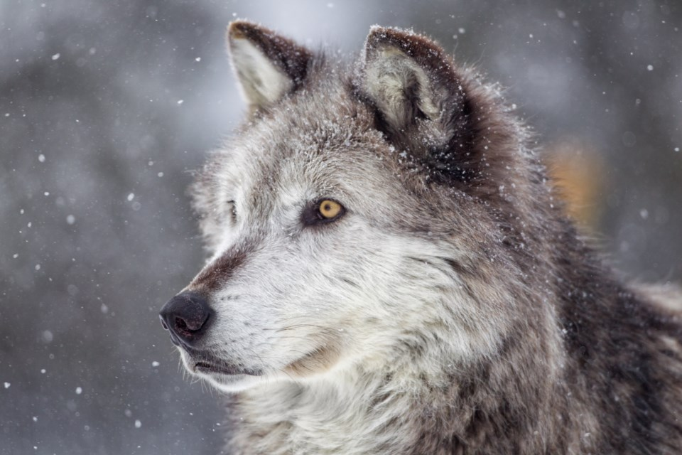 20220_08_17_LL_gray_wolf_stock
