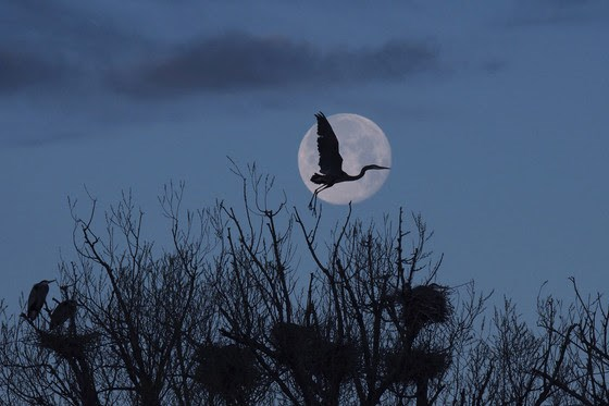 Great Blue Moon Crossing by Peter Steele