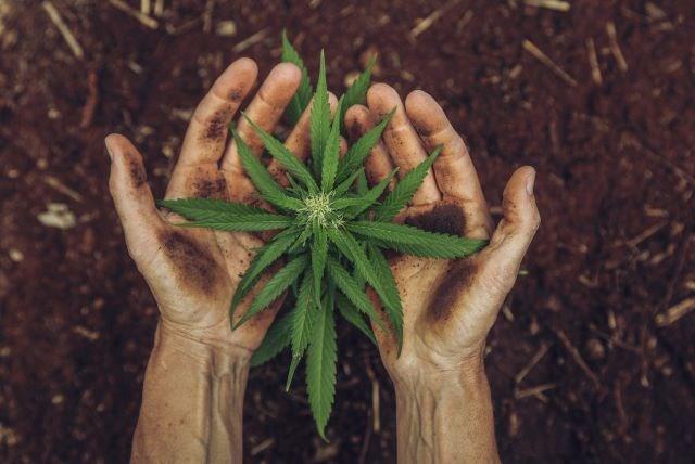Cannabis 02072020
