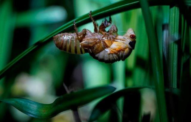 Cicada AP