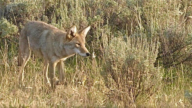 GettyCoyote