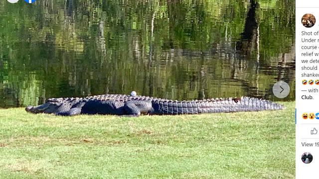 Golf alligator