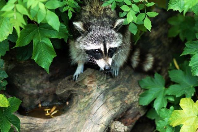 Raccoon 08052020
