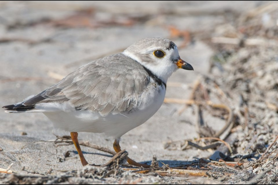 Tweety the piping plover. Photo credit Neal Mutiger.