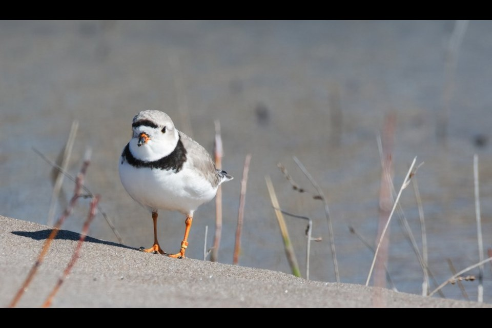A piping plover. Photo credit Neal Mutiger.