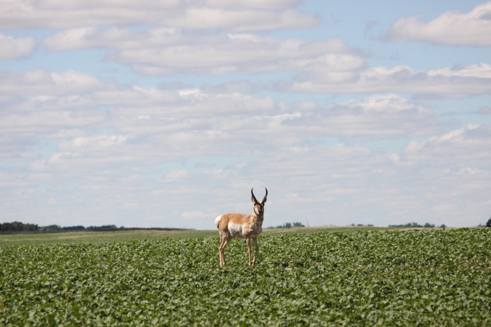 antelope in soybean field photo by ron walter