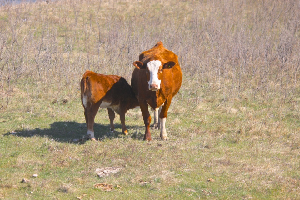 beef farming cattle