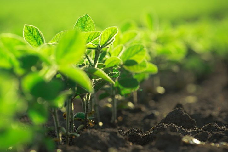 organic soybeans getty images
