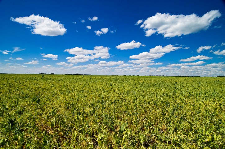 pulse crops field of peas gettyimages