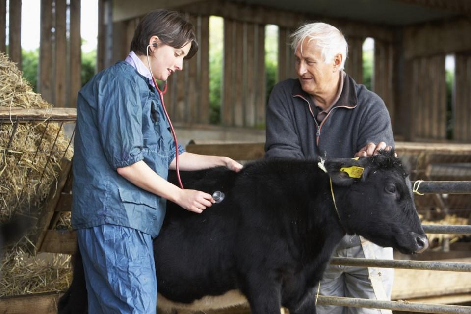 shutterstock vet cow