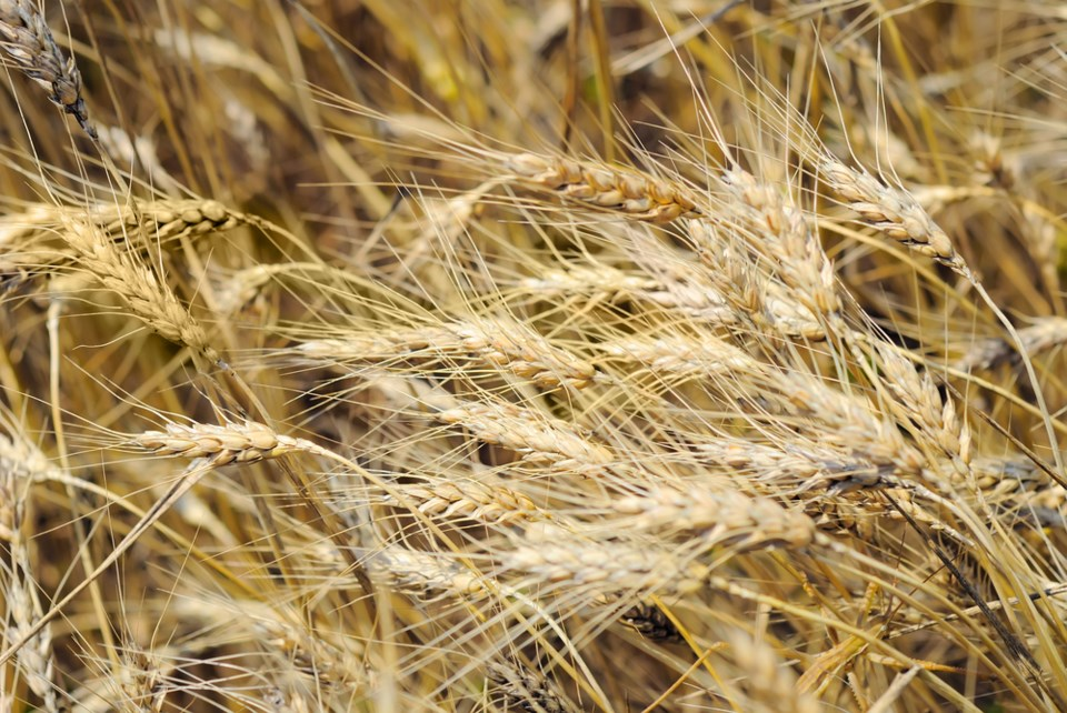wheat drought shutterstock