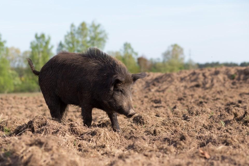 wild pig shutterstock