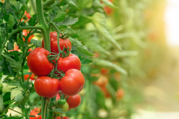 tomatoes in greenhouse getty images