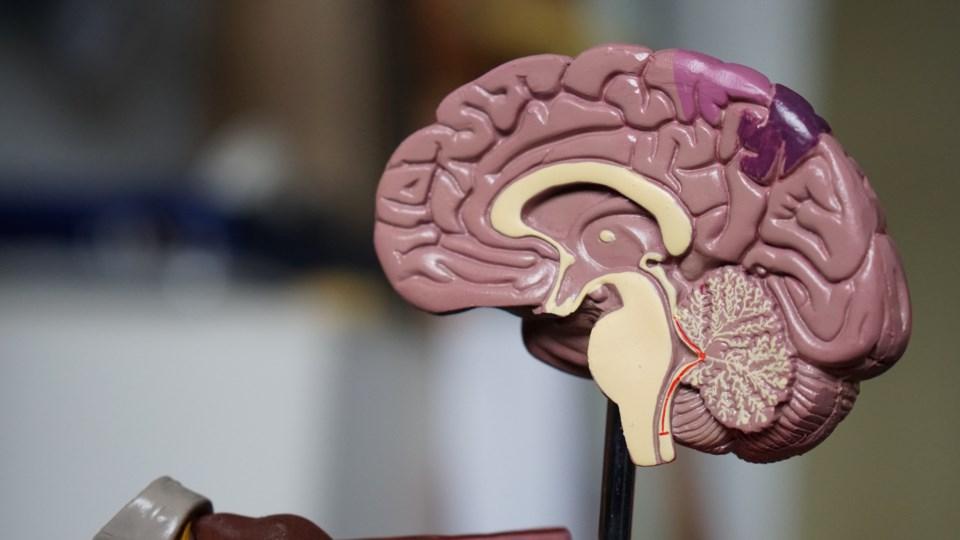 brain model stock