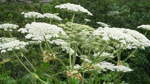 Giant hogweed. Photo courtesy invadingspecies.com