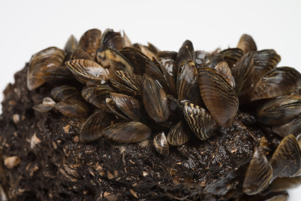 invasive zebra mussels stock