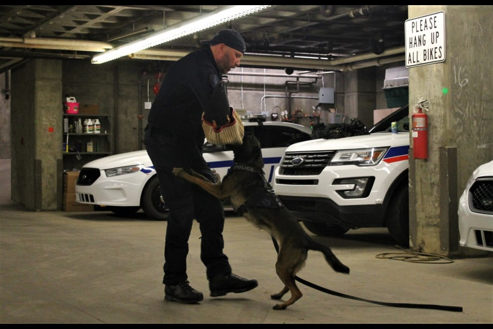 PSD True demonstrated how she can latch onto a target, in this case Cst. Chad Scheske, with a verbal cue from her handler, Cst. Aaron Woods.