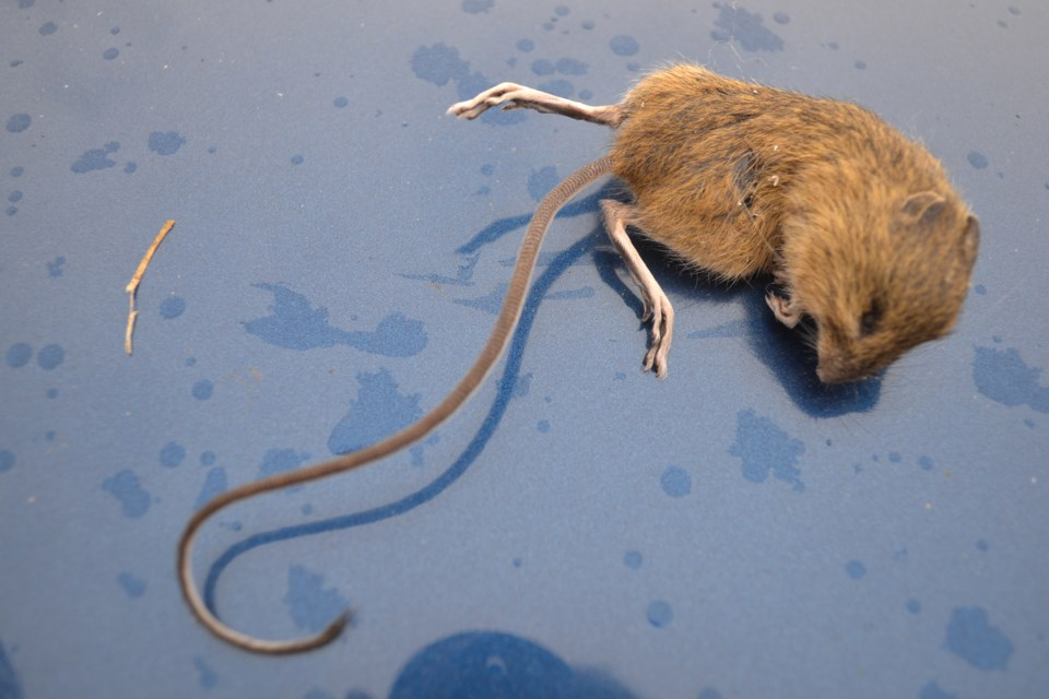 mvt Jumping mouse-2