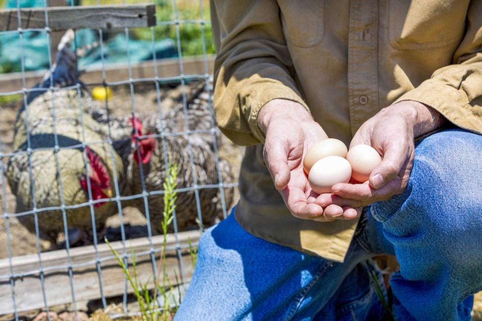 MVT stock chicken eggs