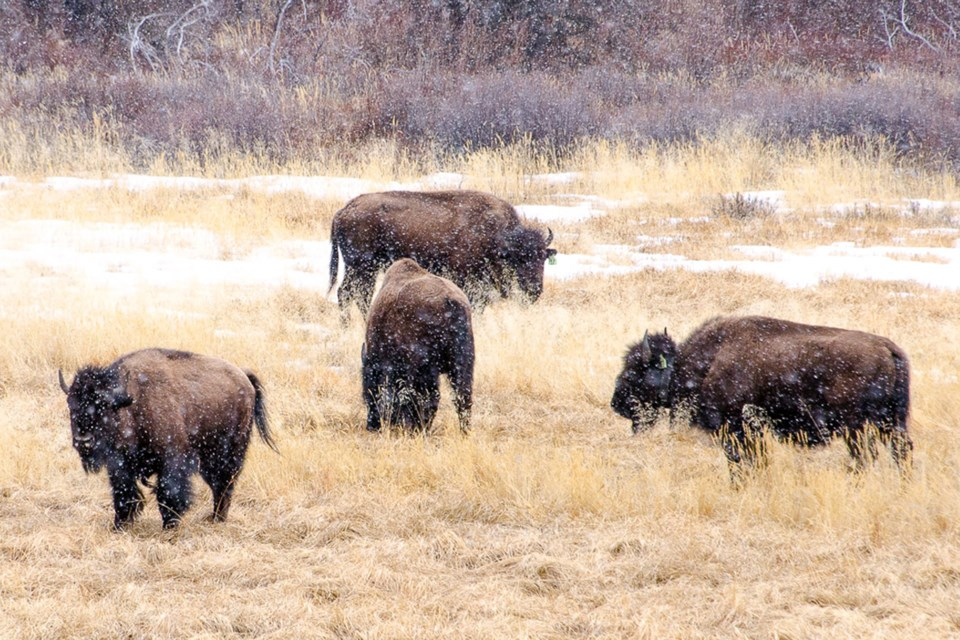 A herd of bison that was reintroduced to a portion of Banff National Park as part of a five-year pilot project has for the most part remained in a 1,200- square-kilometre zone after being released from an enclosed pasture in the Panther Valley in 2018.  Photo couresty of Karsten Heuer/Parks Canada