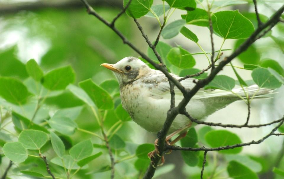 A rare albino robin was recently seen flying around a Central Alberta farm south west of Sylvan Lake.
