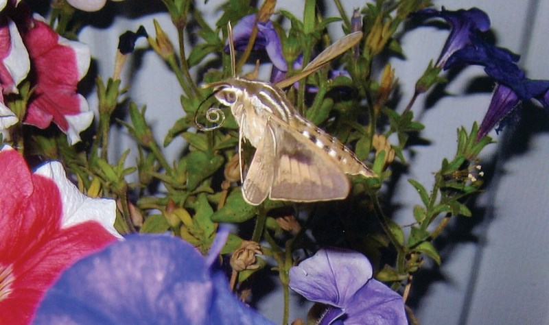 This White-lined Sphinx Moth was an uncommon find in Sandra Comer's flowers this year.